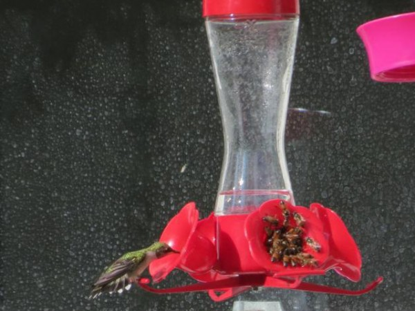 Photo of hummingbird and swarm of bees at feeder