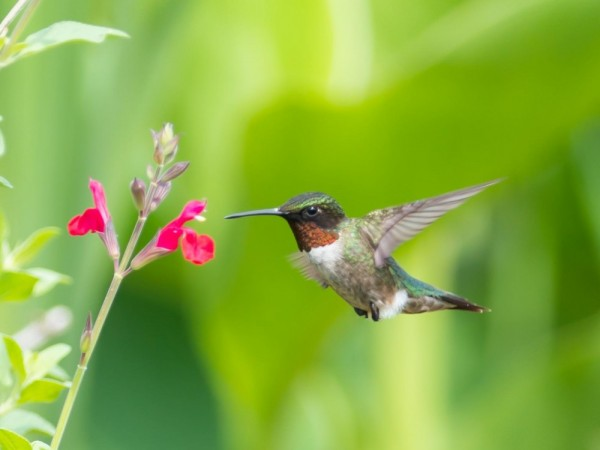 Image of hummingbird nectaring on cardinal flower