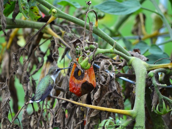 Photo of hummingbird gleaning for insects on dried tomato