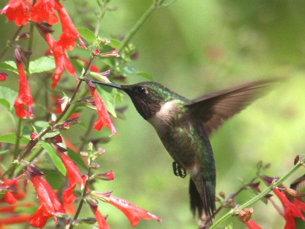 Photo of male ruby-throated hummer fueling up on nectar