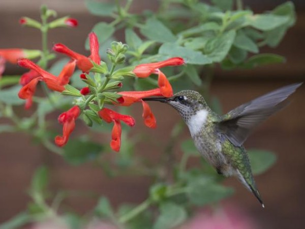 Photo of hummingbird nectaring at Scarlet Rooster Sage