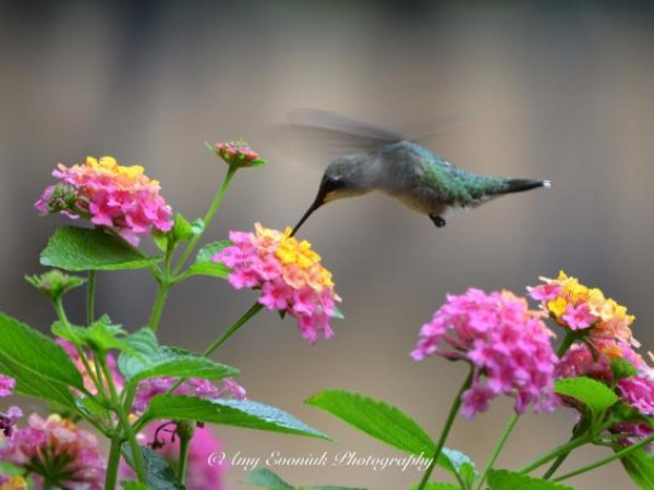 Photo of hummingbird fueling up on nectar