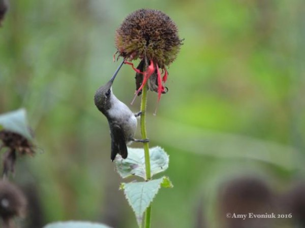 Photo of hummingbird nectaring at monarch