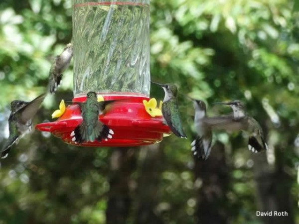 Photo of hummingbirds at a feeder