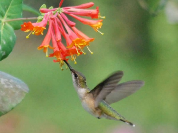 Image of hummingbird nectaring on Trumpet Honeysuckle
