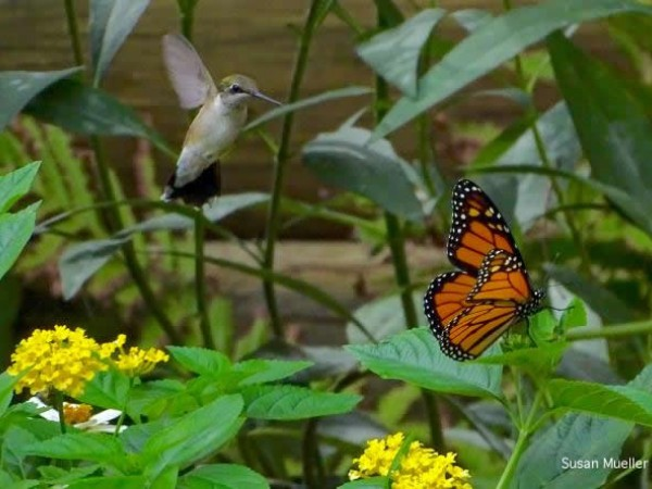 Photo of hummingbird and monarch butterfly