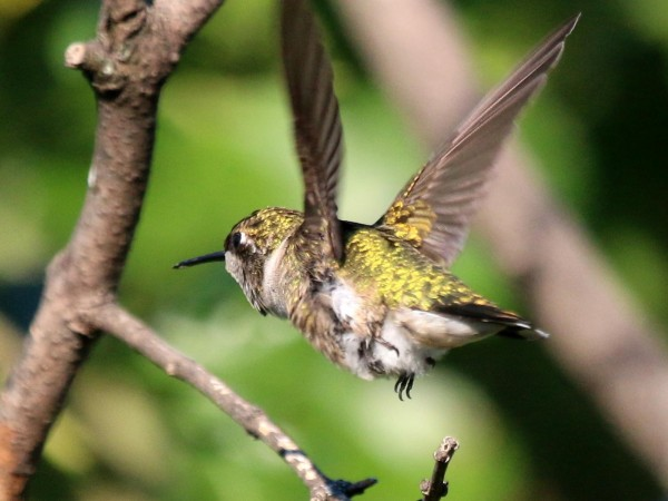 Photo of hummingbird in flight
