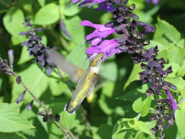 Photo of hummingbird nectaring on purple salvia