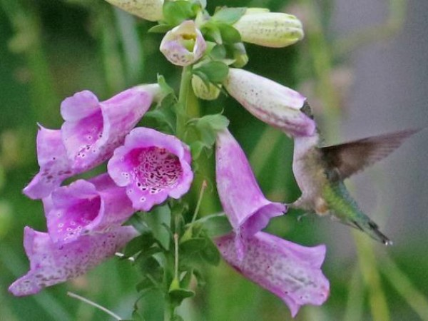 Photo of hummingbird nectaring on foxglove flower