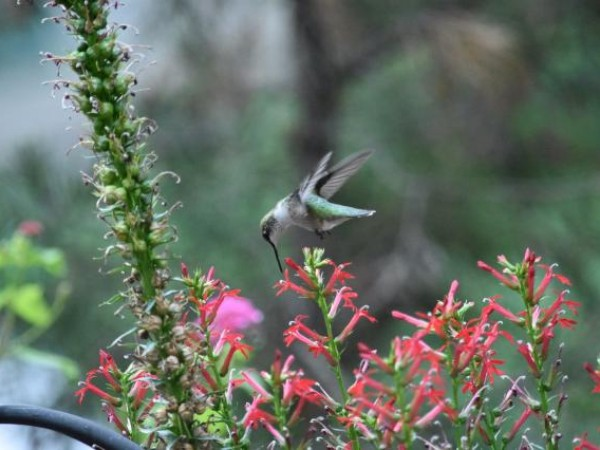 Photo of hummingbird nectaring on cardinal flower