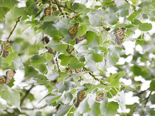 Image of roosting monarch butterflies at beginning of fall migration.