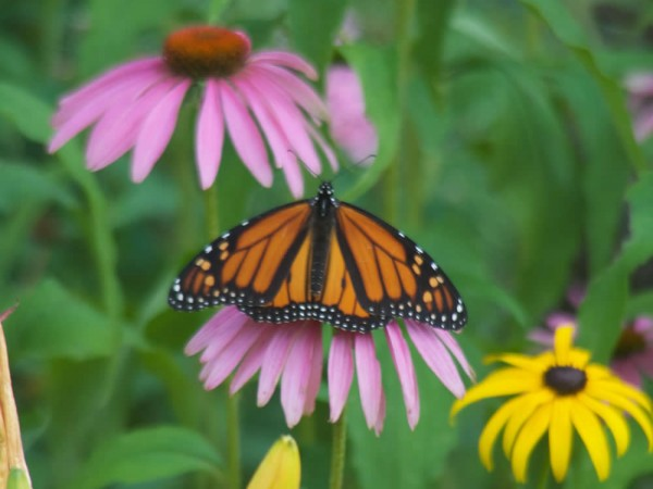 Monarch Butterfly Nectaring on Cone Flower