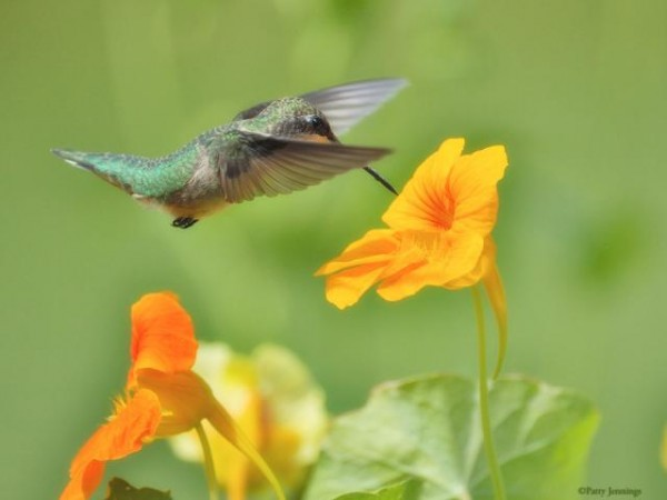 Image of hummingbird by Patty Jennings