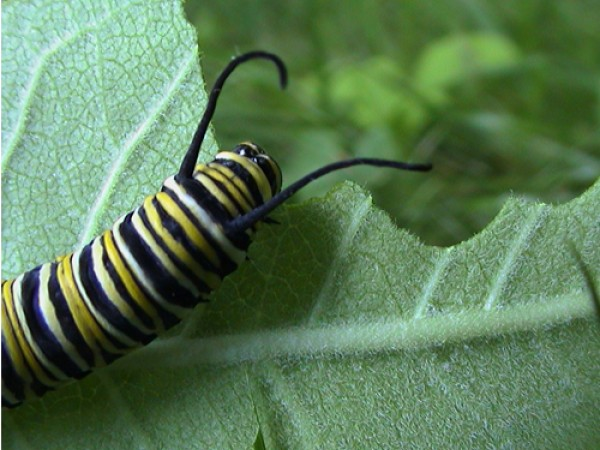 Monarch Butterfly Larva Eating Milkweed