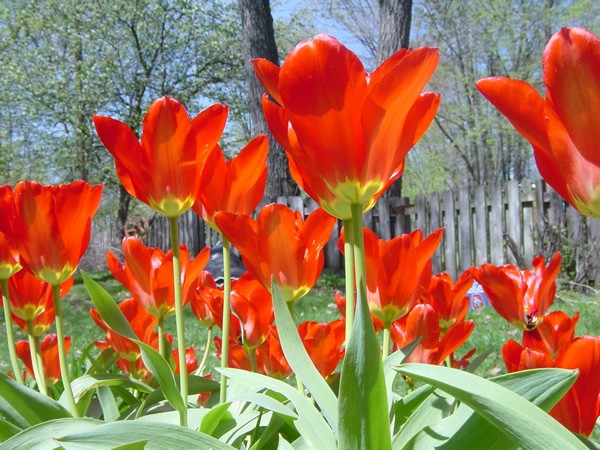 Photo of a blooming tulip garden.