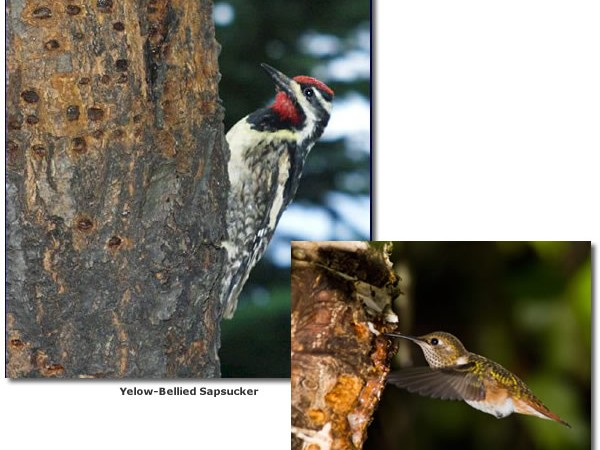 Photo of sapsucker and hummingbird