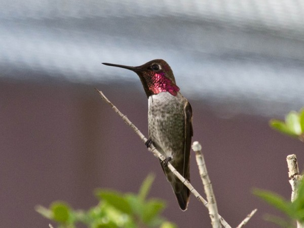 Photo of the Anna's hummingbird male