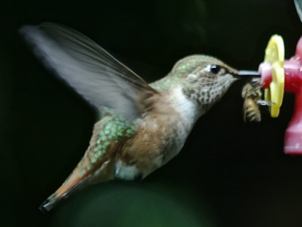 Photo of Rufous Hummingbird and a Bee