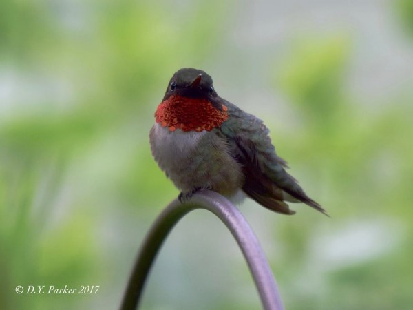 Photo of Ruby-throat gorget showing brightlyhtly