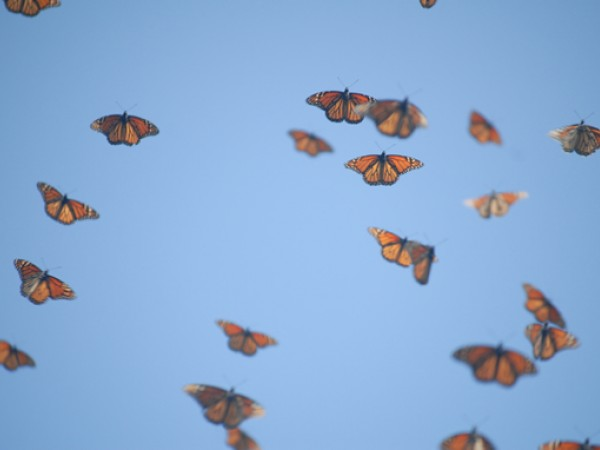 Image: Monarch Butterflies in Flight