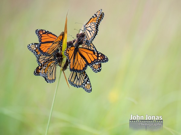 Image of monarch butterflies roosting on a rush in Minnesota prairie.