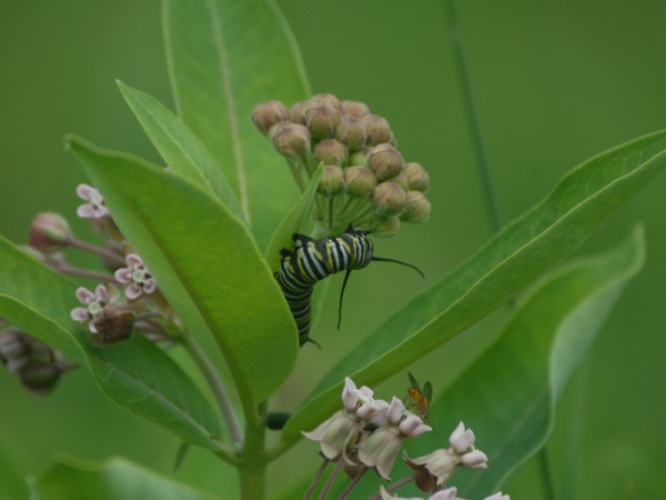 Image of a monarch butterfly caterpillar eating milkweed.