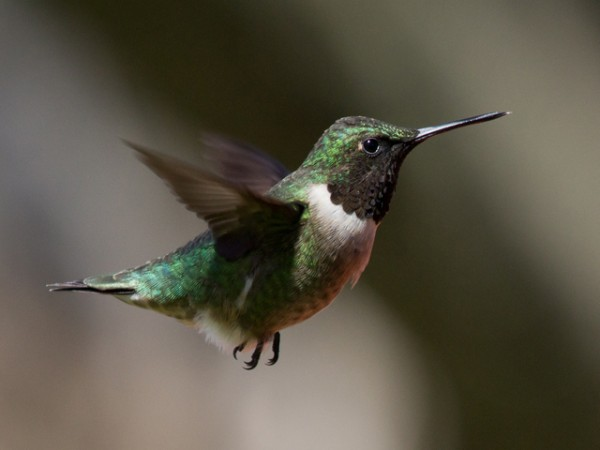 Image of male ruby throat by Laura Erickson