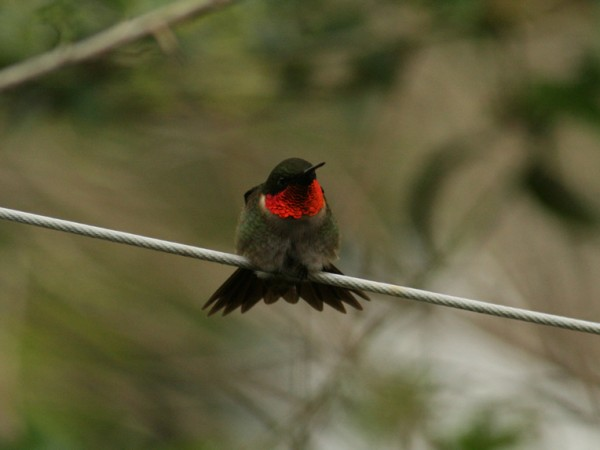 Photo of male Ruby-throat perched on a wire