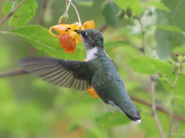 Photo of hummingbird nectaring on spotted jewelweed