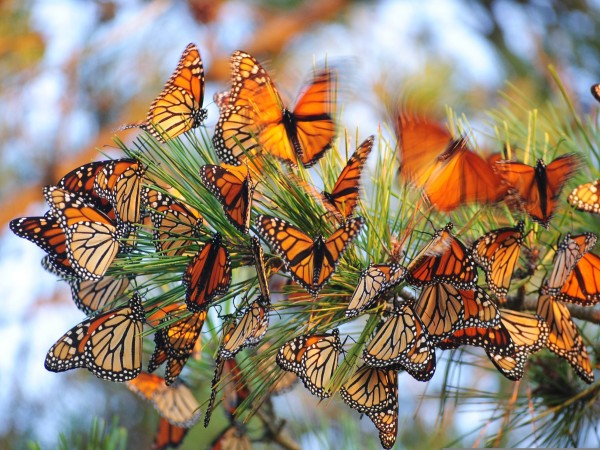 Image of monarch butterflies roosting in a pine tree.