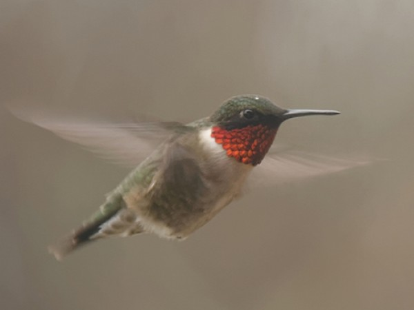 Photo of a male Ruby-throat in flight