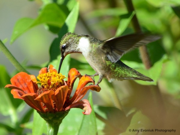 Hummingbird stepping on a flower.