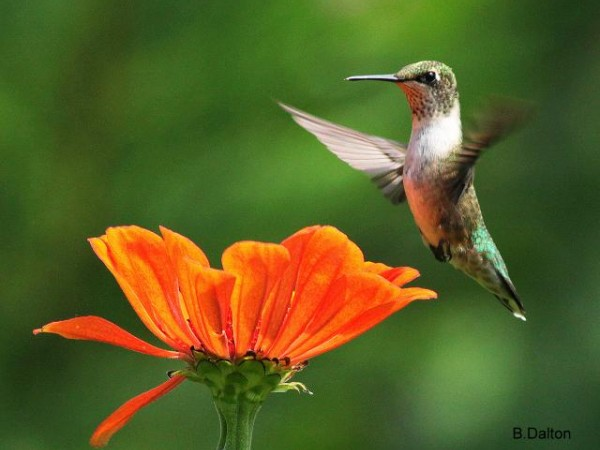 Hummingbirds are Big Eaters