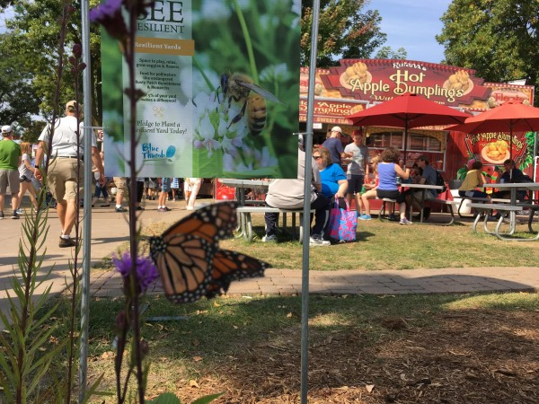 Monarch butterfly nectaring at the Minnesota State Fair