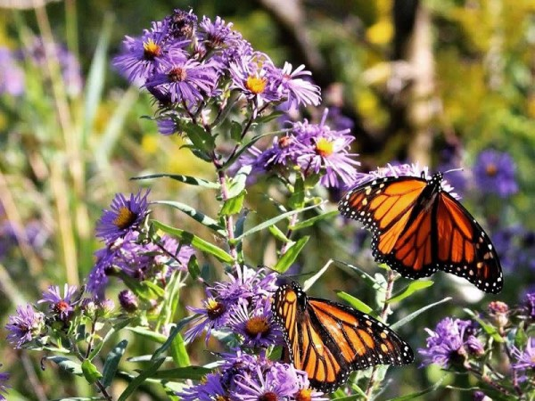 Image of monarch butterflies nectaring in New England asters.