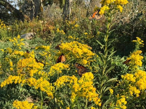 Image of monarch butterflies nectaring in goldenrod