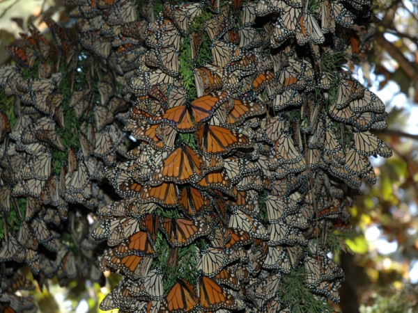 Image of monarch butterflies roosting in Mexico
