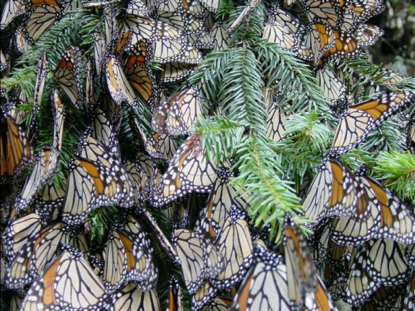 Image of monarch butterflies roosting in an oyamel tree in Mexico