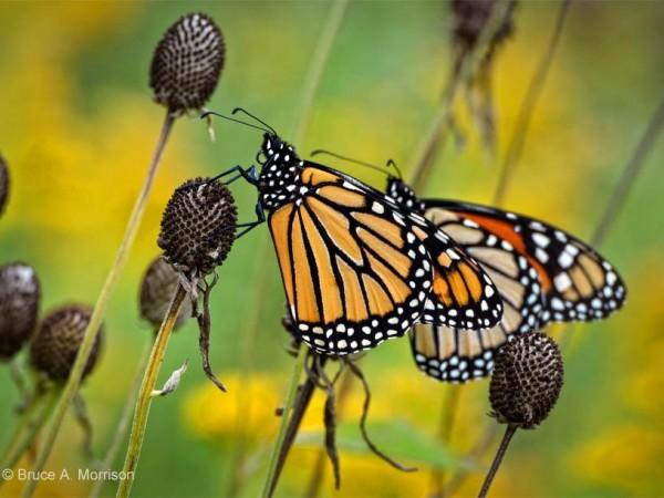 Image of monarch butterflies resting on the Iowa prairie.