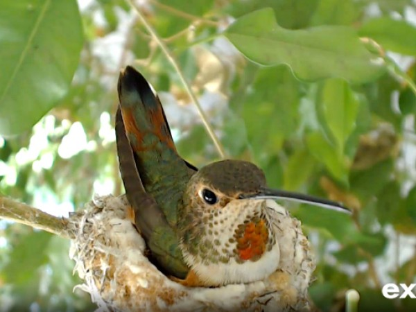 Allen's hummingbird sitting on a nest