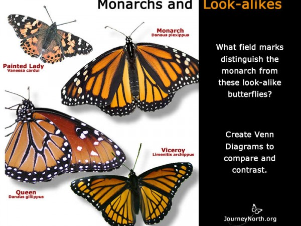 Monarch Identification Infographic