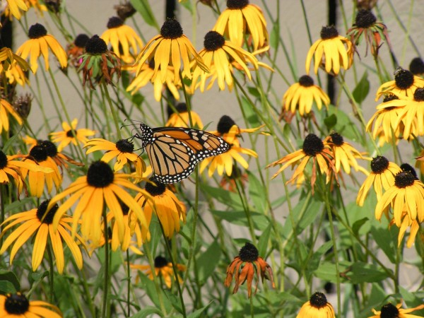 Monarch Butterfly Nectaring on Black-eyed Susans