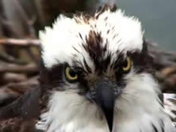 Osprey close up