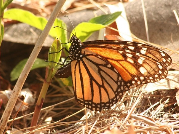 Image of Monarch Butterfly Laying Eggs on Milkweed