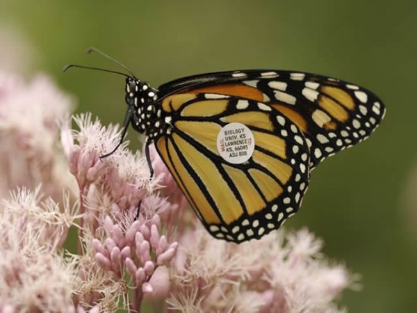Image of a tagged monarch butterfly