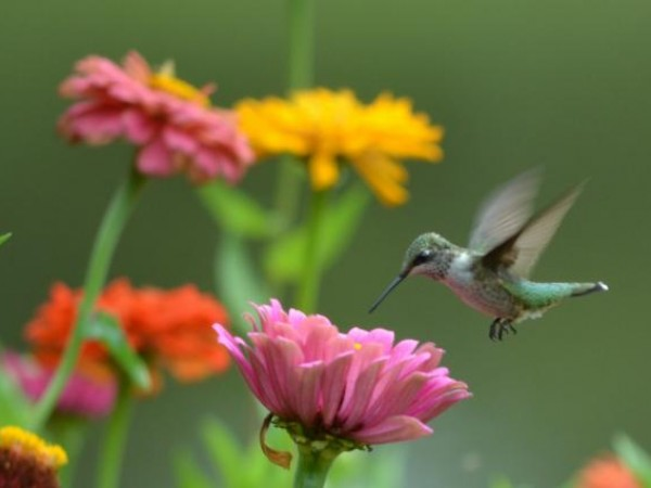 Hummingbird nectaring from zinneas by Amy Evoniuk