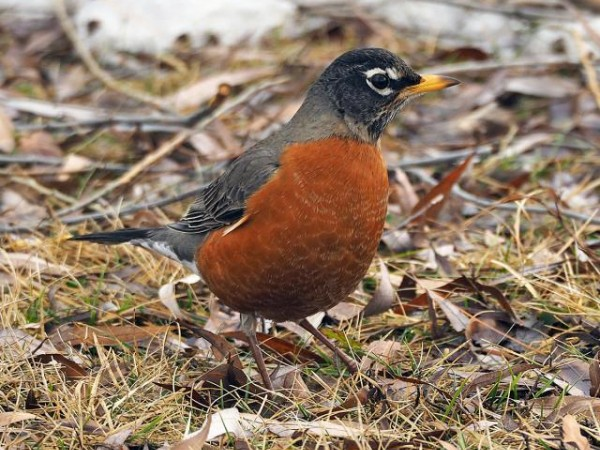 Tracking Robin Migration