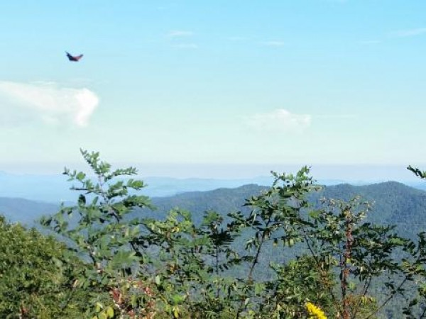 Monarch Butterfly Flying Over the Appalachians