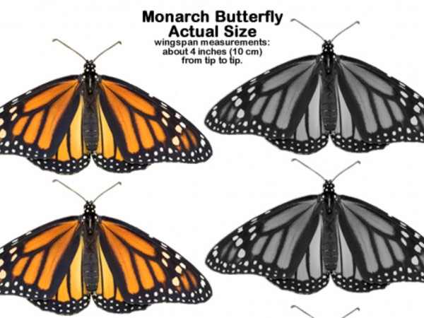 Life-Sized Monarch Butterflies