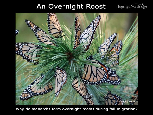 Why Do Monarch Butterflies Form Overnight Roosts? (Inforgraphic)